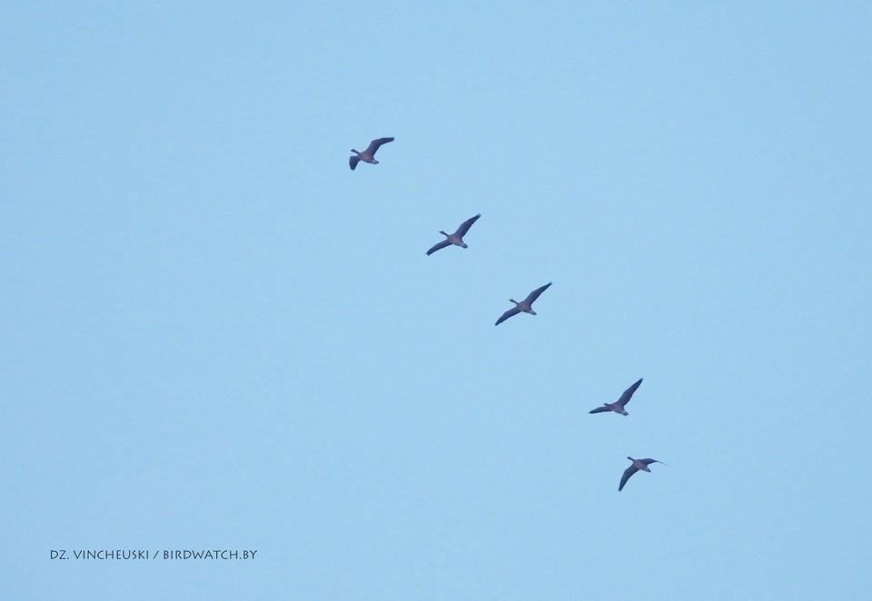 В Беларусь возвращаются перелетные птицы! Фото: Дмитрий Винчевский, birdwatch.by