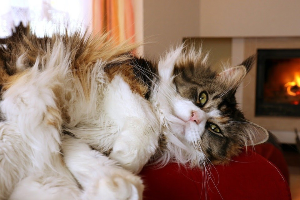 Главный кот Петербурга 2021: выбираем лучшего мурлыку