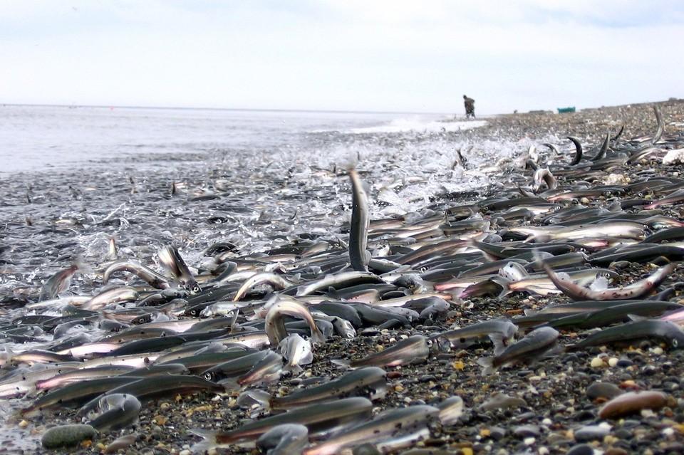 Очистилось ото льда и побережье Томаринского района – еще одно популярное место массовой ловли уйка