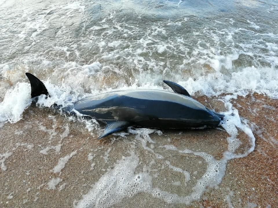 Дельфины не всегда могут пережить стресс.