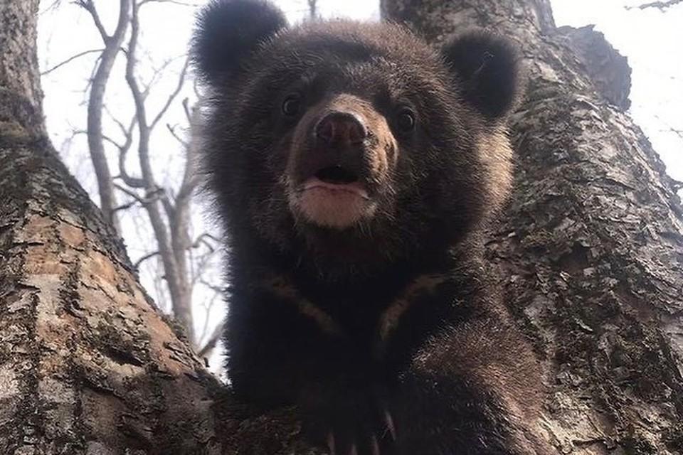 Увы, медвежата часто становятся питомцами центра по реабилитации животных. Фото: instagram.com/sibiriantiger_center