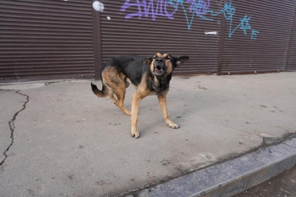 Под Новосибирском на женщину дважды напала бродячая собака.