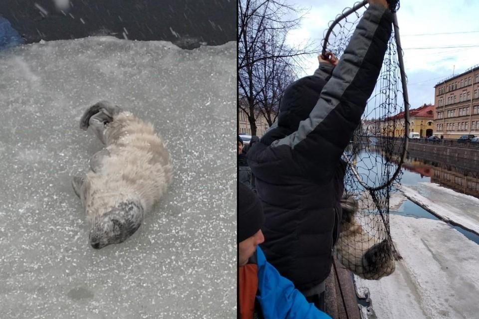 Спасателям удалось поймать юркого истощенного тюлененка, попавшего в центр Петербурга. Фото: vk.com/koshkispas