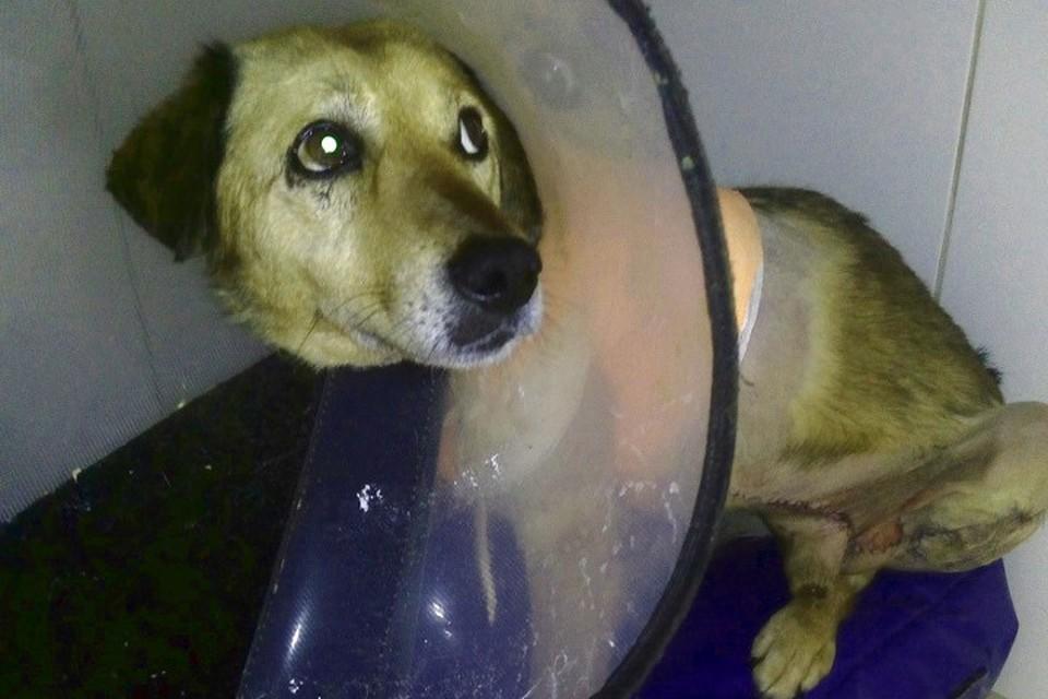 Пес перенес несколько операций и проходит реабилитацию в клинике. Фото: Алена Толкачева/facebook