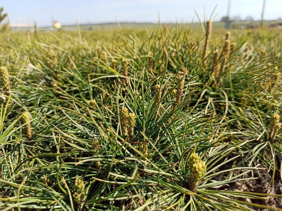 На Южном Урале высадят 15 тысяч кедров. Фото: vk.com/alleislavy