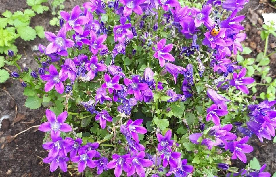 В столице Югры появятся 200 тысяч цветов