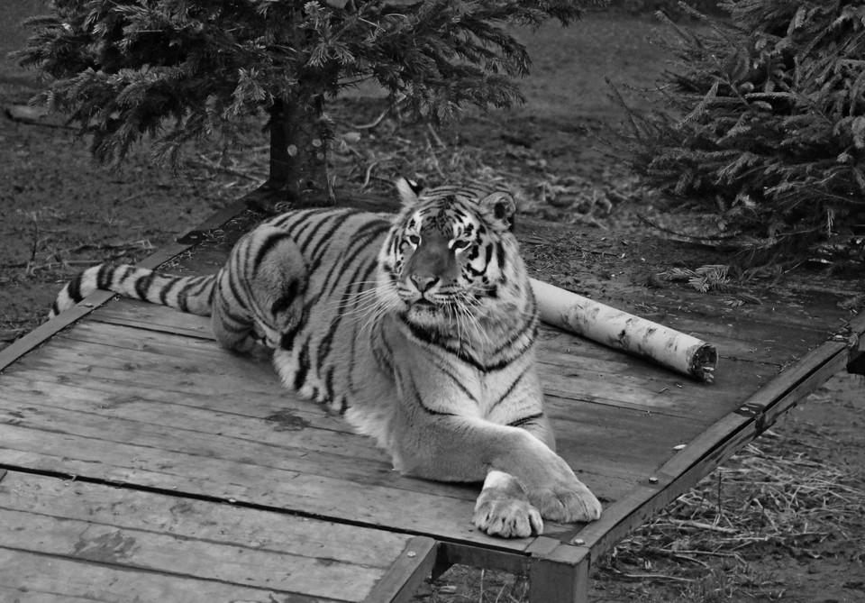 Тигрица Таня.