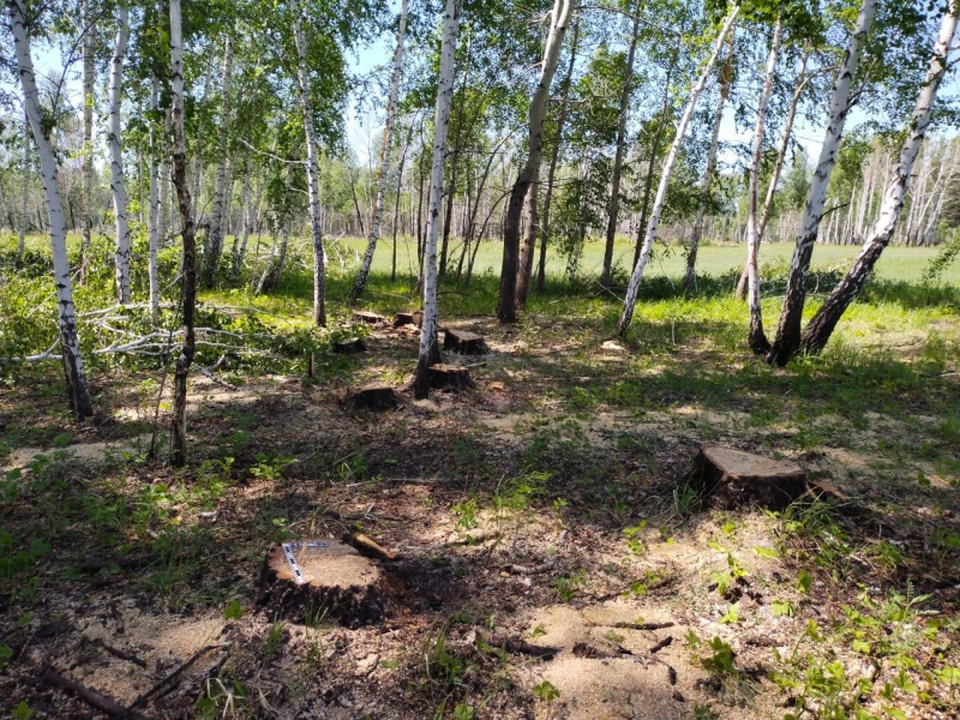 От леса остались только молодые березки и маленькие пни.