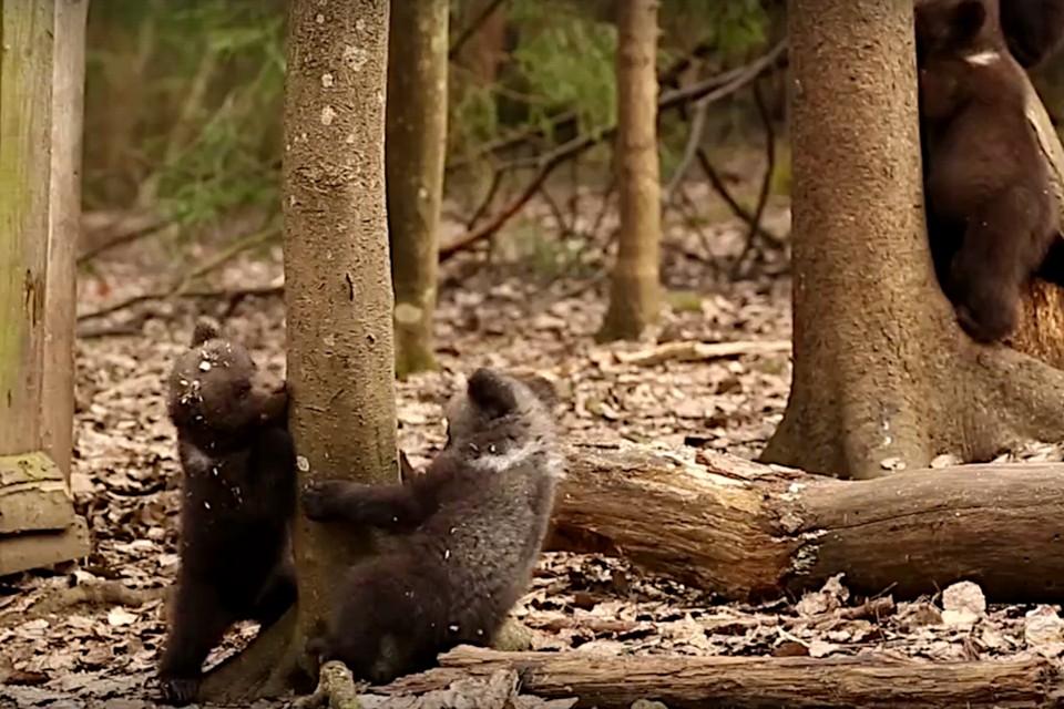 В Тверской области медвежата-сироты учатся лазать по деревьям. Фото: принтскрин видео из группы в ВК/Центр спасения медвежат-сирот.