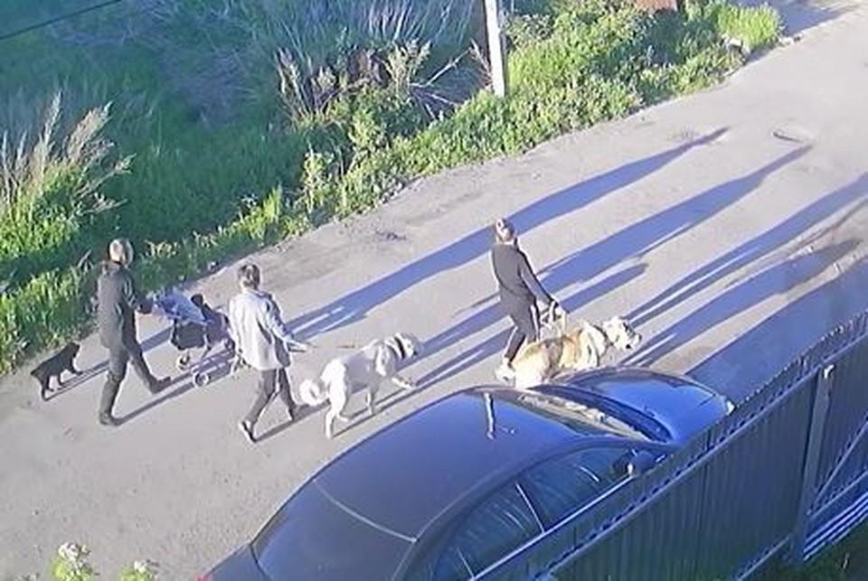 Мирная прогулка завершилась растерзанием двумя алабаями маленькой дворняжки. Фото: скрин с видео.