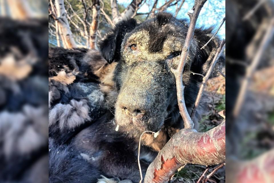 Сейчас волонтеры пытаются спасти пса, который медленно умирал все эти дни. Фото: Ирина Комлева / vk.com/id235182227