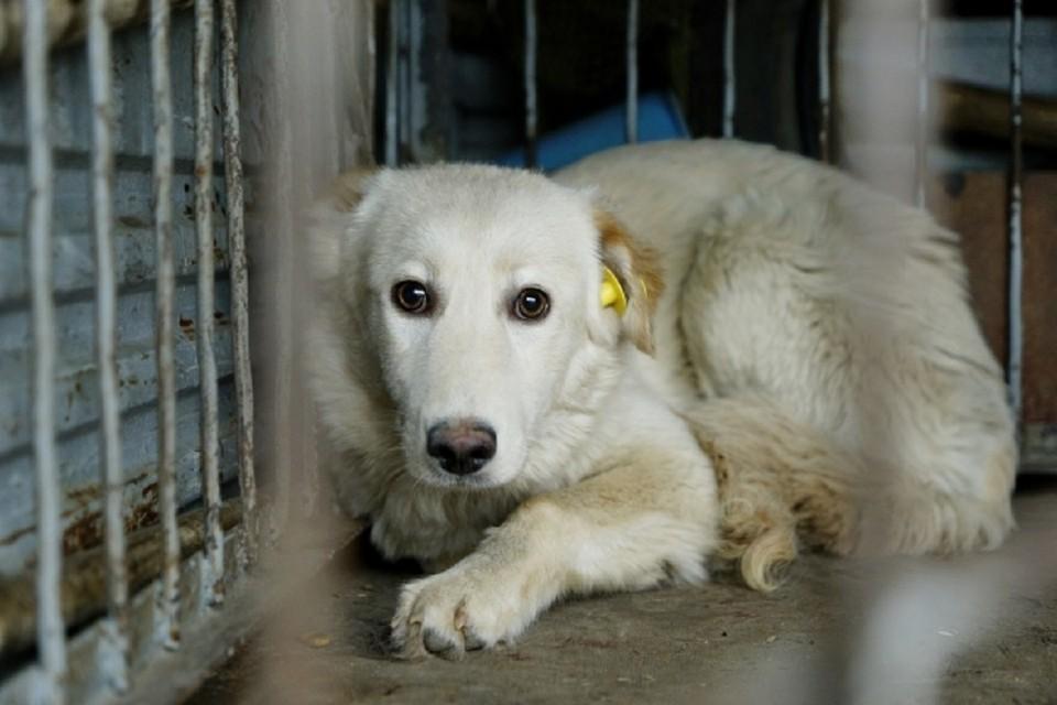 В Новосибирске бездомных псов отлавливают гуманным способом.