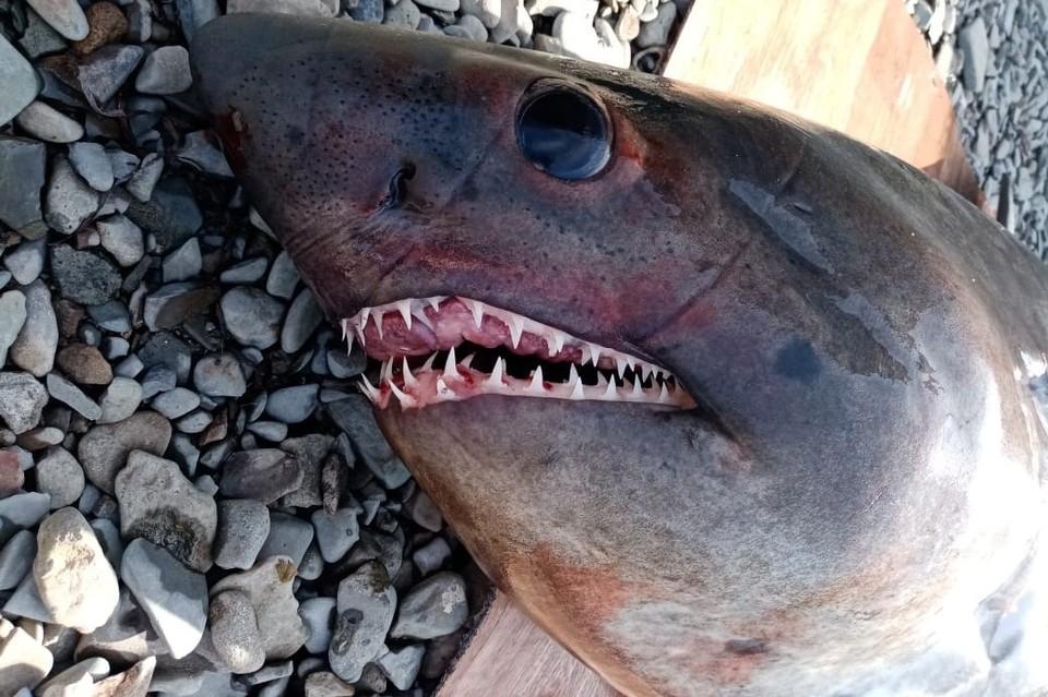 Полутораметровая хищница запуталась в ставном неводе одного из рыбацких станов