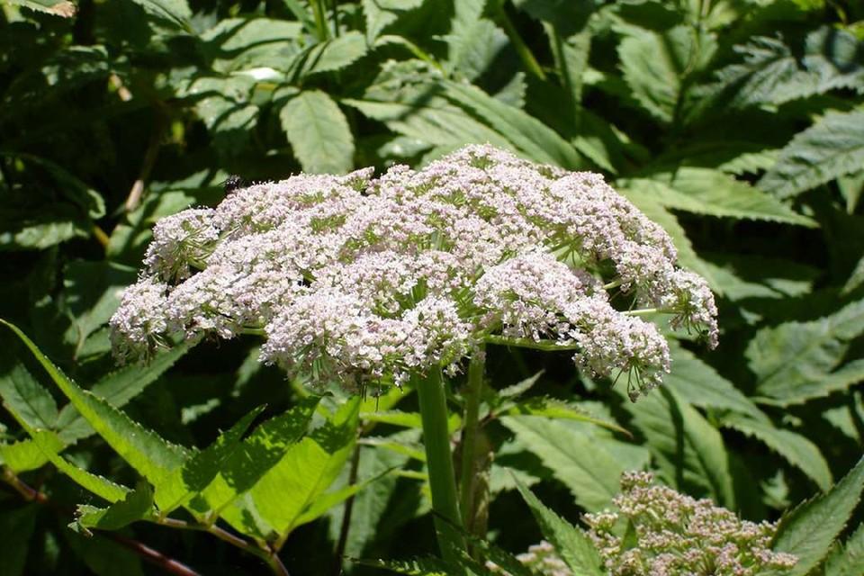 Это цикута. Она ядовита вся - от цветочков до корневища, и коварно пахнет морковкой. Фото: turstar.ru.