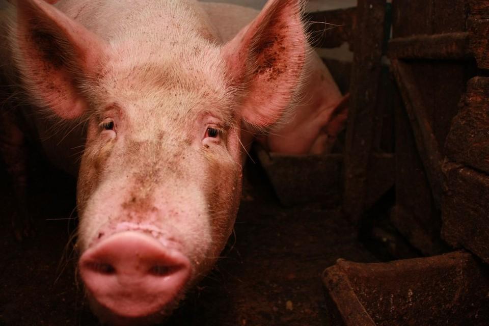 В квартире пятиэтажки у сибиряков жила свинья.