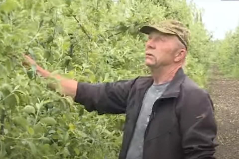"""Выращиванием фруктов в регионе занимаются не только в крупных хозяйствах, но и на частных участках. Фото: ГТРК """"Брянск"""", скриншот видео."""