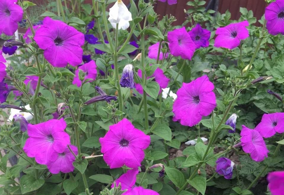 Во дворах Сургута появится больше 30 тысяч цветов и кустарников