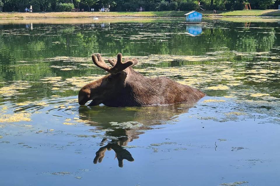 Местные жители говорят, что у сохатых даже появилось расписание водных процедур. Фото: Наталья Сметнева