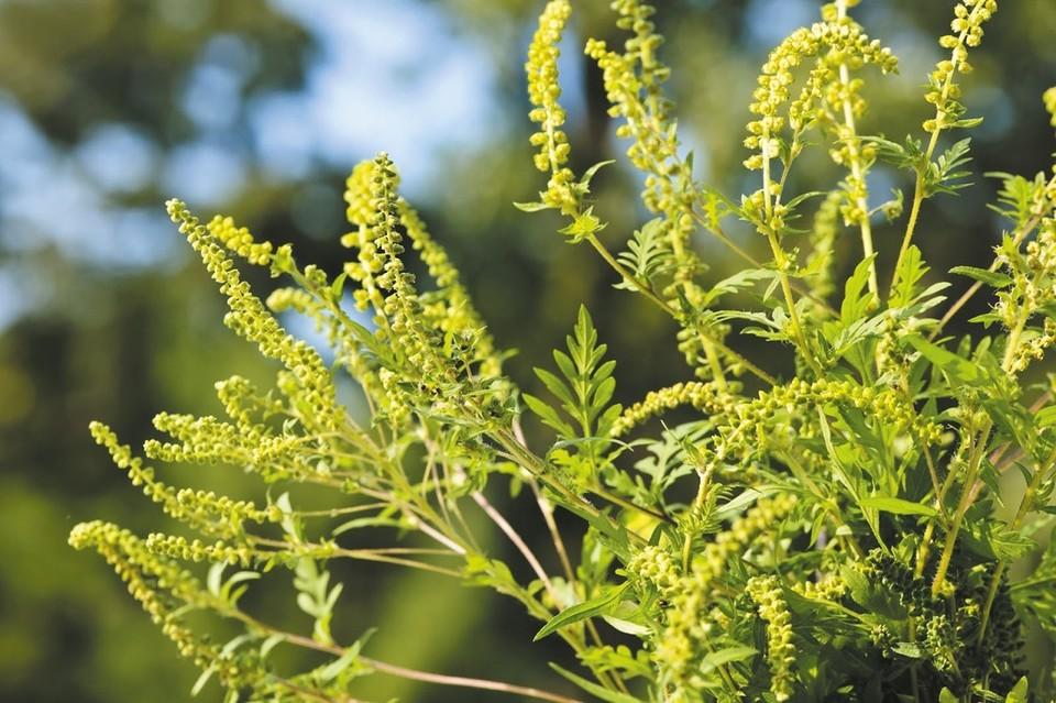 Амброзия маскируется под полевые цветы. Фото: архив «КП»-Севастополь»