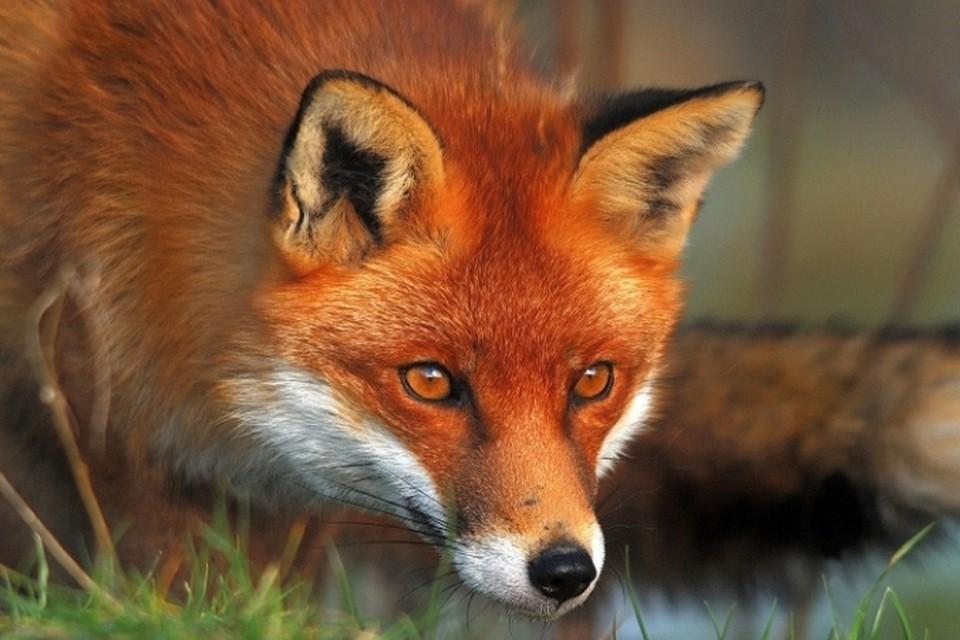О факте бешенства лисы сообщает городская ветстанция