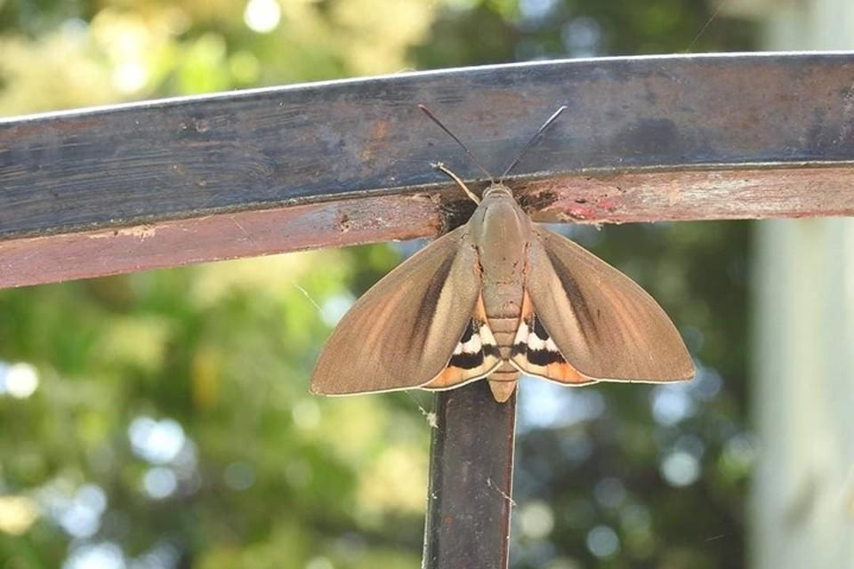 Тропическое происхождение выдают яркие нижние крылья пальмового бурильщика. Фото: science.npsochi.ru