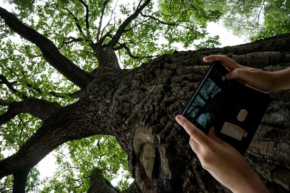 Тургеневский дуб из Спасского-Лутовиново борется за звание «Российское дерево года — 2021»