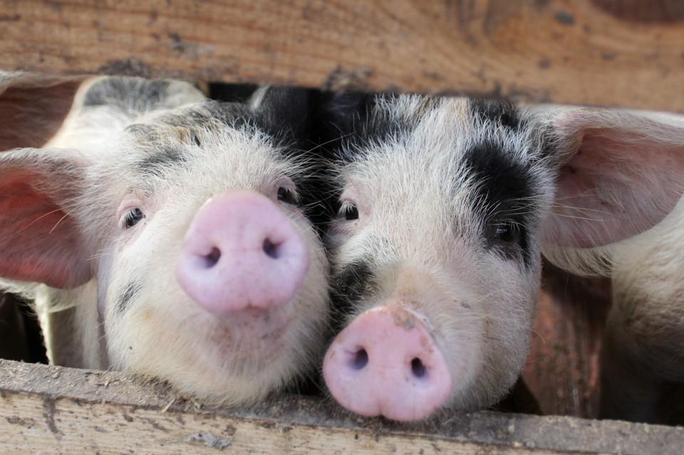 На всей территории Новоаннинского района начались наблюдения за состоянием свиней