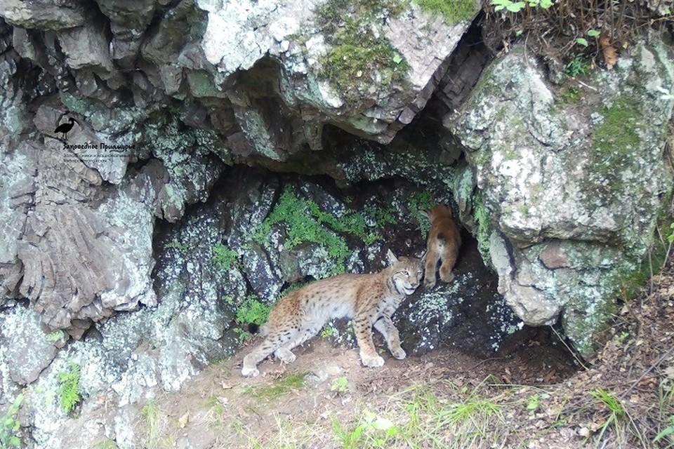 Спасались от жары: мама рысь со своим малышом спряталась в скалах Большехехцирского заповедника