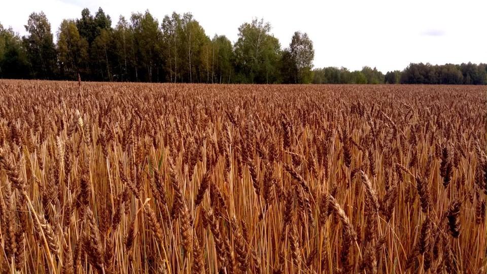 Скорее всего, аграрии региона не смогут превысить рекордный урожай прошлого года. Фото: сайт департамента по социально-экономическому развитию села Томской области