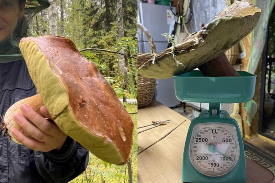 Съедобный гигант вырос во Всеволожском районе. Фото: сообщество «Грибы и Грибники Спб» Вконтакте.