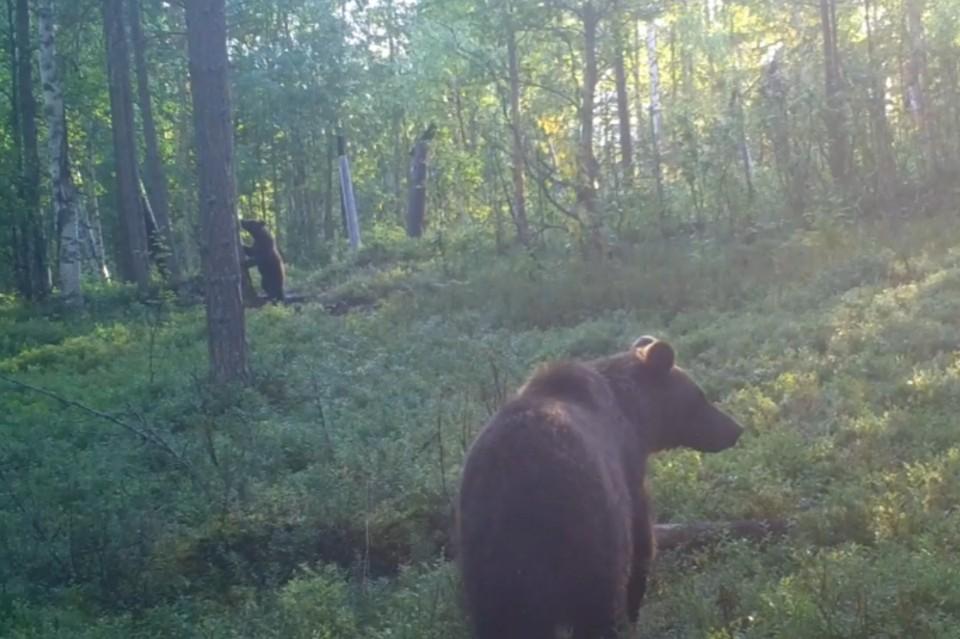 В карельском национальном парке медведица и ее малыш попали в фотоловушку. Фото: vk.com/public182059860