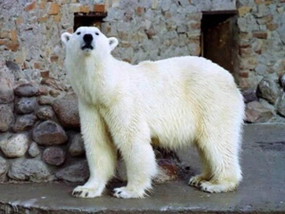 Белого медведя из ростовского зоопарка увезут в Берлин.