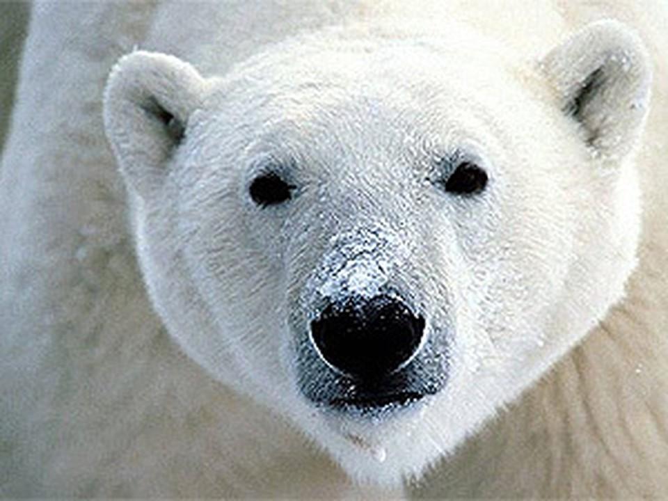 Московские медведи улетели в Китай. На пенсию