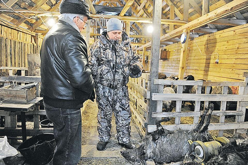 Фермер Михаил Коршунов (справа) показывает овец охотнику: но по следам укусов так и не удалось понять, что за хищник напал на хозяйство.