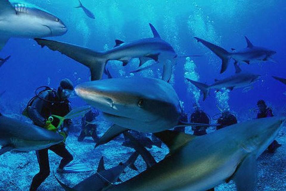 Среди рифовых акул.
