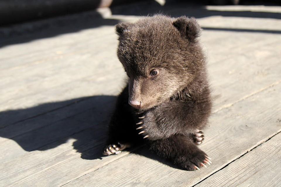 Медвежат, родившихся под Иркутском, отдают в хорошие руки.