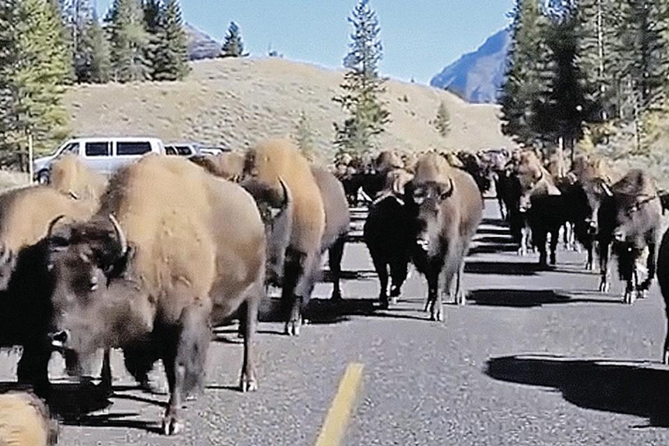 Бизоны то ли бегут из заповедника, то ли возвращаются обратно.