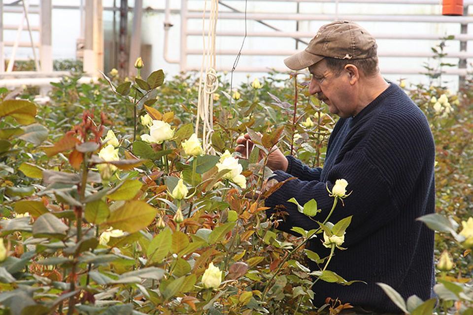 Чем обработать плесень на розах