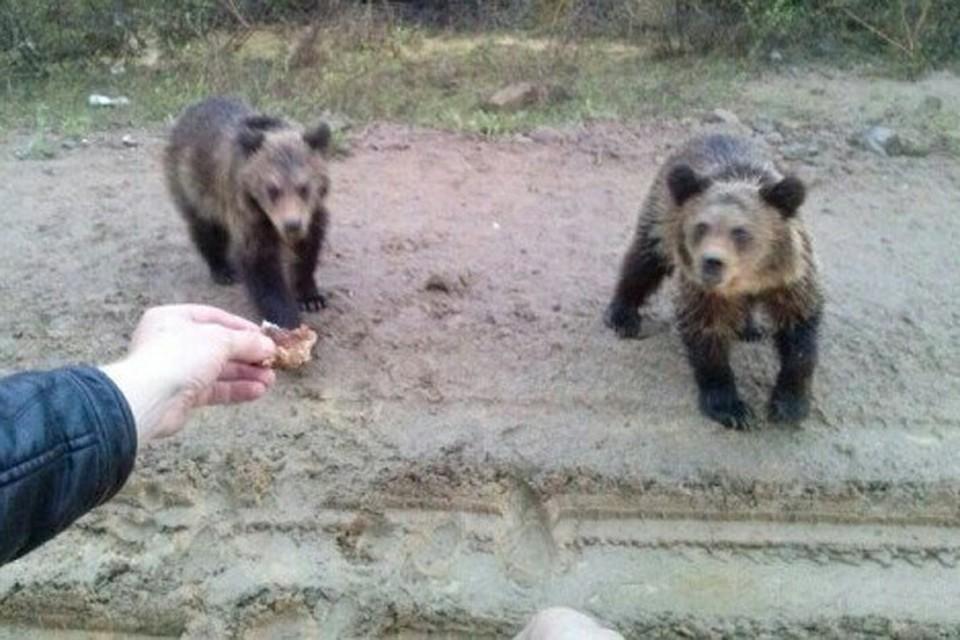Местные говорят, что за последние 20 лет не припомнят такого сильного скопления медведей в Алданском районе.