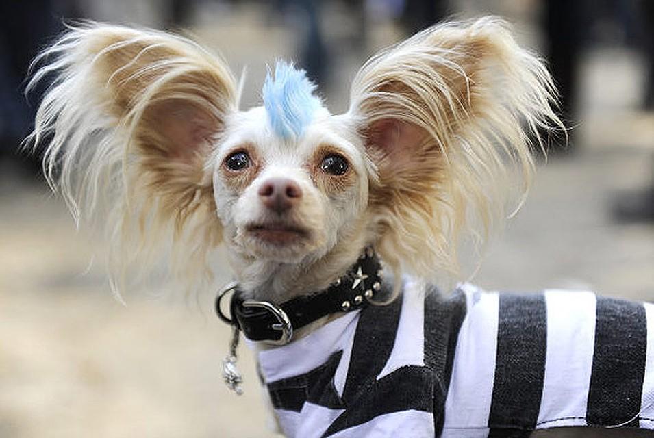 фото карманная собачка