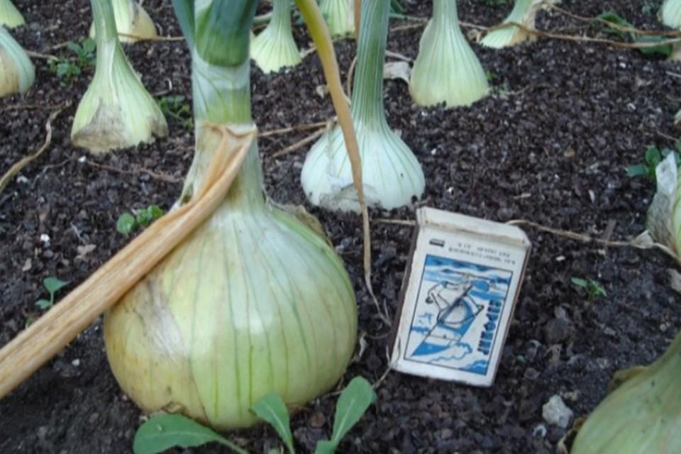 Вот такой гигантский лук вырастает из семян, обработанных особым биококтейлем.
