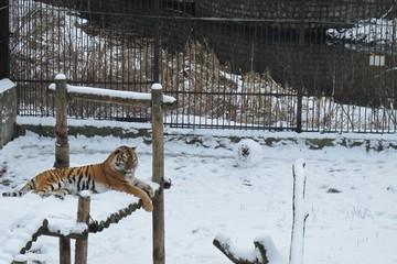 Тигрица в калининградском зоопарке научилась лепить снеговика
