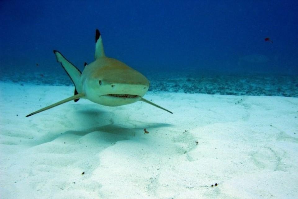 Черноперым рифовым акулам круговой обзор категорически противопоказан!
