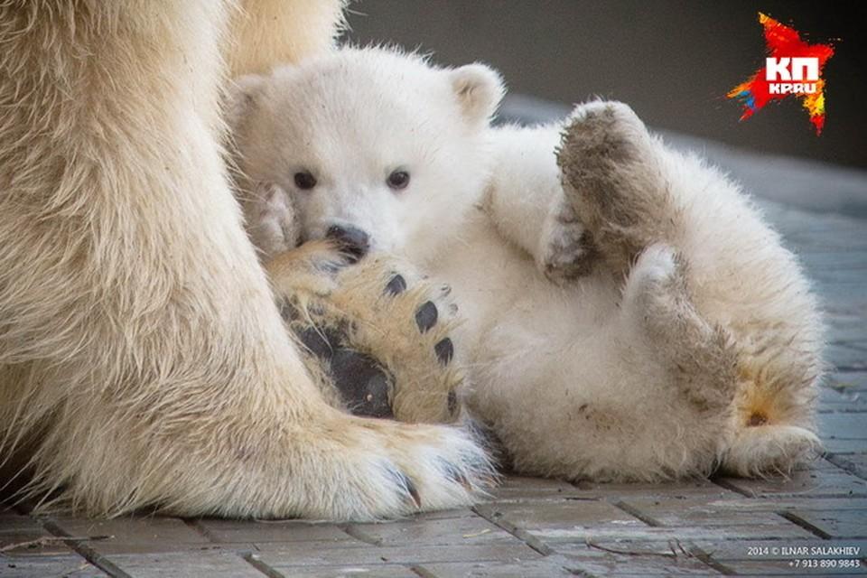 Шилка была не просто долгожданным ребенком - она стала первым белым медвежонком, родившемся в Новосибирском зоопарке за последние 40 (!) лет.