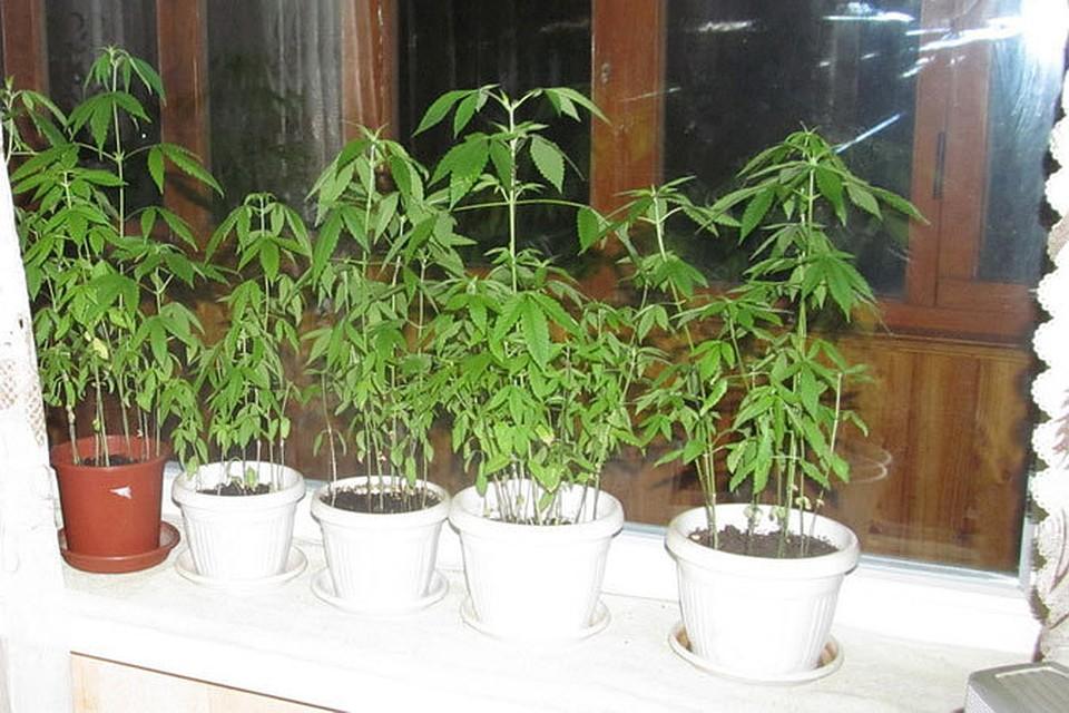 Для подоконника марихуана рф разрешенная к выращиванию конопля в
