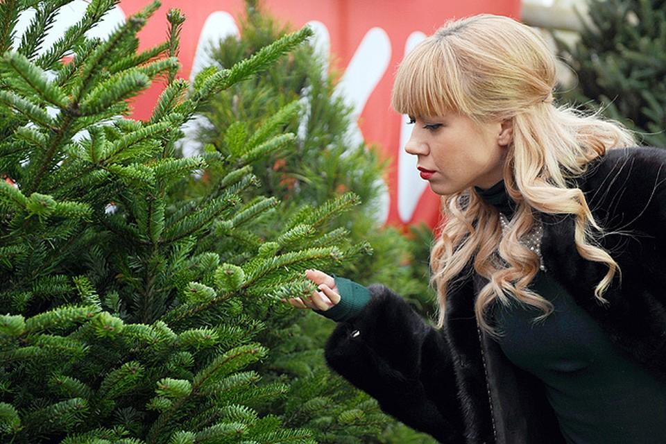 Любые новогодние деревья россиян – это сосны и ели. Именно их чаще всего предлагают магазины в канун праздника. А между тем ни те, ни другие жить в помещении не могут!