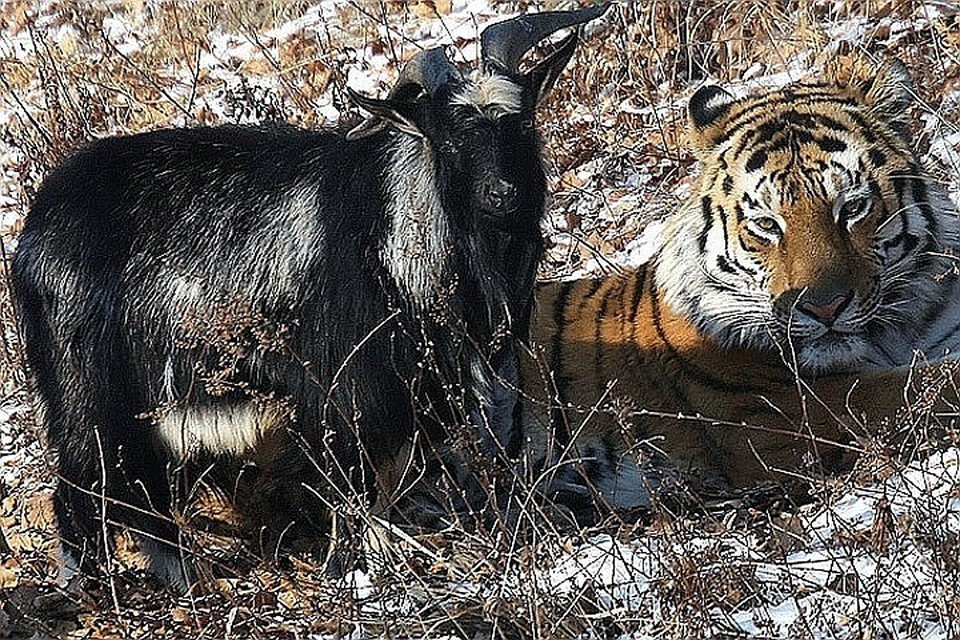 «История любви» тигра Амура и козла Тимура оказалась фейком