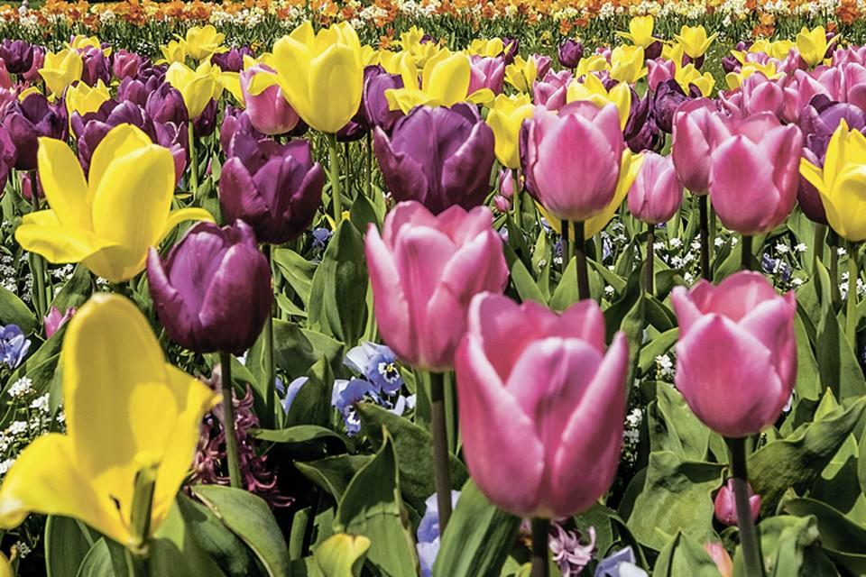 Тюльпаны - это всегда красиво!