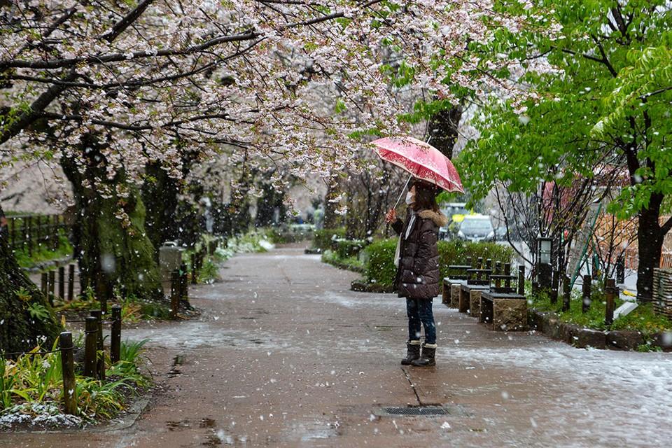 В Токио в конце марта, в пору цветения сакуры, неожиданно выпал снег.