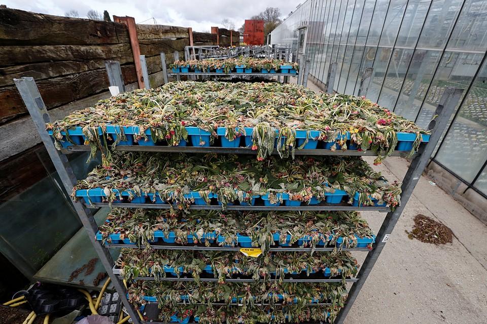 У британских садоводов из-за упавшего спроса гибнет урожай цветов